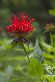 Bee Balm Flowers, Beautiful, Edible and Medicinal Royalty Free Stock Image