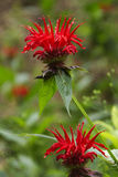 Bee Balm Flowers Bright and Close Up Stock Photo