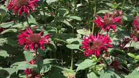 Bee Balm Flowers Stock Images