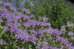 Bee Balm Royalty Free Stock Photos