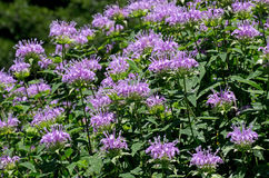 Bee Balm. Monarda or bee balm is a genus consisting of roughly 16 species of flowering plants in the mint family, Lamiaceae. The genus is endemic to North royalty free stock photos
