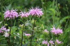 Bee balm Monarda pink wildflower perennial. Showy frilly fragrant stately stock photos
