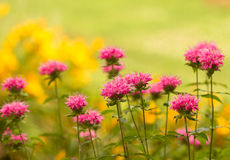 Bee Balm. Pink Bee Balm (Monarda royalty free stock photography