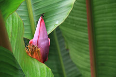 Bee and a banana flower (Musaceae) Royalty Free Stock Image