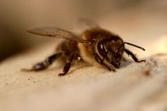 The bee basks in the sun. stock photography