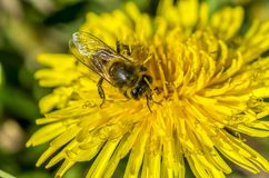 Bee, bathing in first rays of the sun. Collecting nectar Royalty Free Stock Photos