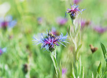 Bee and beautiful cornflower in meadow Royalty Free Stock Photos