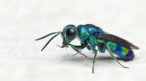Bee Beautiful,Cuckoo Wasp. Bee,Bee Beautiful,Cuckoo Wasp royalty free stock images