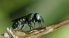 Bee Beautiful,Cuckoo Wasp. Bee,Bee Beautiful feed on dry flower,Cuckoo Wasp stock photos