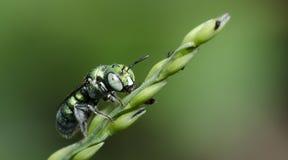 Bee Beautiful,Cuckoo Wasp. Bee,Bee Beautiful feed on flower,Cuckoo Wasp stock photo