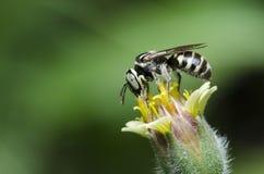Bee Beautiful,Cuckoo Wasp. Bee,Bee Beautiful feed on flower,Cuckoo Wasp stock photos