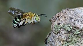 Bee Beautiful,Cuckoo Wasp. Bee,Bee Beautiful are flying,Cuckoo Wasp stock images