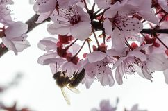 A bee Royalty Free Stock Images