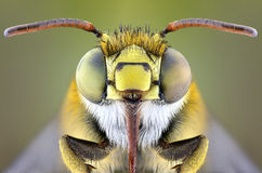 BEE. This is beautiful of BEE insect from indonesia Royalty Free Stock Photography
