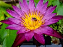 Bee with beautiful Lotus Royalty Free Stock Photography