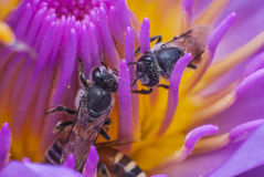 Bee. On beautiful lotus flower Stock Images