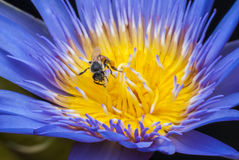 Bee. On beautiful lotus flower Stock Photo