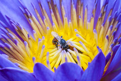 Bee. On beautiful lotus flower Royalty Free Stock Image