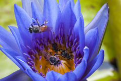 Bee. On beautiful lotus flower Royalty Free Stock Photos