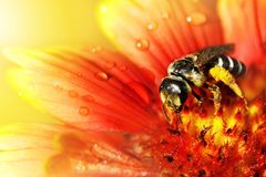 The bee  on a beautiful red-yellow flower in droplets of water. Artistic natural macro image Royalty Free Stock Image