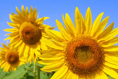 Bee on a beautiful sunflower Royalty Free Stock Images