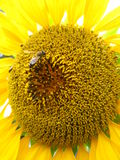 A bee on the beautiful sunflower Stock Photo