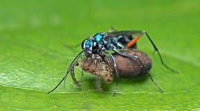Bee, Bee Beautiful. Catch spider, Cuckoo Wasp stock photo