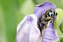 Bee,Bee Beautiful,Cuckoo Wasp. Bee,Bee Beautiful feed on flower,Cuckoo Wasp royalty free stock image