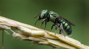 Bee,Bee Beautiful. On dry flower,Cuckoo Wasp royalty free stock image