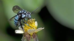 Bee, Bee Beautiful. Feed on flower royalty free stock image