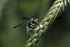 Bee,Bee Beautiful. Feed on flower,Cuckoo Wasp royalty free stock photos