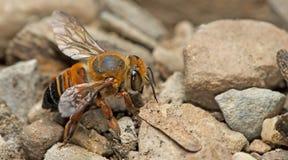 Bee,Bee Beautiful. Bee, Bee find food on the rocks, Bee of thailand stock photography