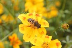 Bee on a bee dance flower Stock Photos