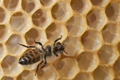 Bee on a beehive Stock Photo