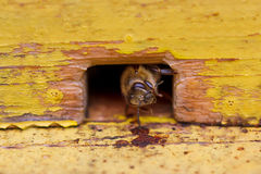 Bee in beehive Royalty Free Stock Photos