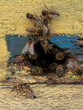 Bee in beehive. Bees in beehive close up royalty free stock photography