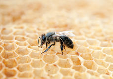 Bee in a beehive stock photography