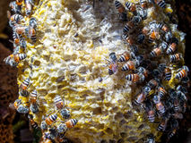 Bee in beehive Royalty Free Stock Photography