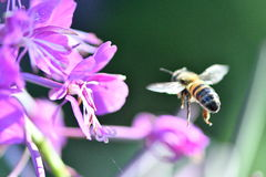 Bee. Keeper ,flower, summer, flying fertilize honey insect sunday monday tuesday royalty free stock images