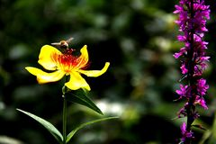 A bee. Bees pick pollen from the yellow flowers Royalty Free Stock Photo