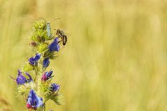 Summer insect macro photo. Bee, beetle on blue and violet Wildflower Royalty Free Stock Photography