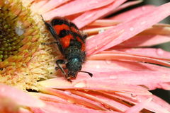 Bee beetle. Bright striped Bee beetle (Trichodes apiarius) on a flower Royalty Free Stock Photography