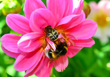 Bee Beetle and a bumblebee Royalty Free Stock Photography