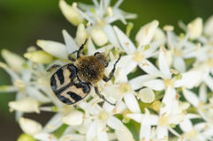 Bee beetle. On a white flower in the sun Stock Photography