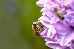 Bee behind work. Bee has arrived behind nectar Stock Image