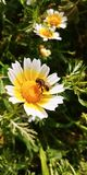 Bee on a bellis perennis flower Stock Photo