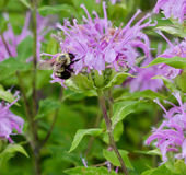 Bee and bergamot. Bumble Bee on a purple Bergamot stock photography