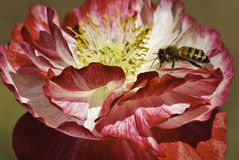Bee on bicolor poppy Royalty Free Stock Photos