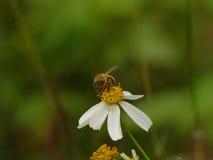 The Bee and bidens alba/Spanish Needle. Stock Image