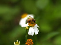The Bee and bidens alba/Spanish Needle. Royalty Free Stock Photography